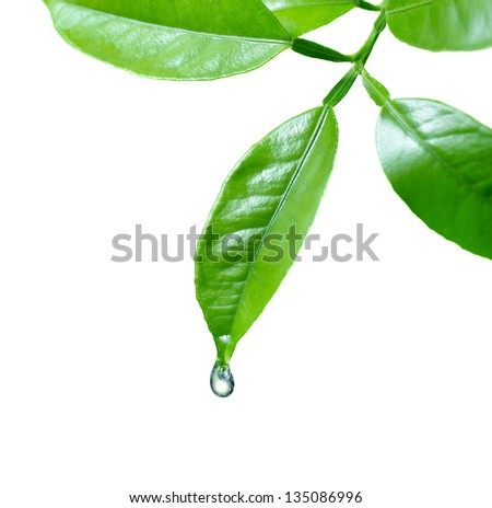 Water drop on leaf isolated on white - stock photo