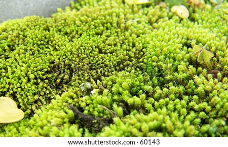Water drop on moss - stock photo