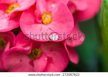 water drop on Pink crown of thorns flower in texture - stock photo