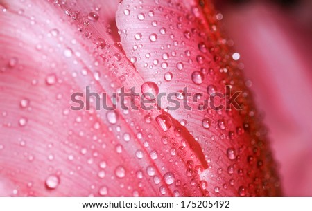 Water drop on red petals, super macro shot with shallow depth of field.   - stock photo