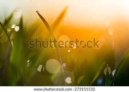Water drop on the top of grass leaf in the orange sunrise light