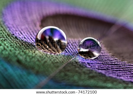 Water droplet on peacock feather - stock photo