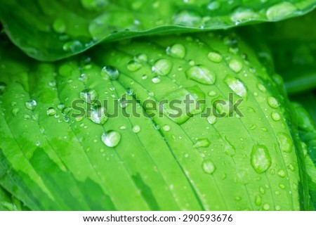 Water droplets on a green leaf (selective focus) - stock photo