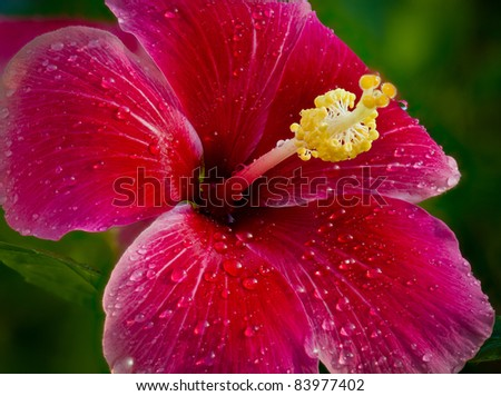 Water Droplets on a Hibiscus - stock photo