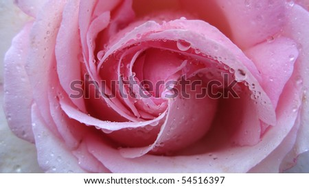 Water droplets resting on a perfect uncurling pink rose. - stock photo