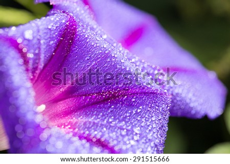 Water drops blue flower in nature. close - stock photo