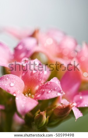 Water drops in the pink kalanchoe flowers - stock photo