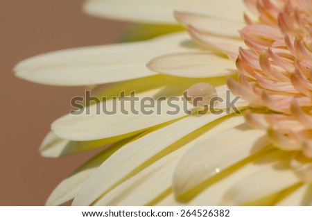 Water drops on creamy white gerber daisy flower. - stock photo
