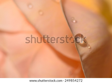 Water drops on peach rose's petals, soft background. - stock photo