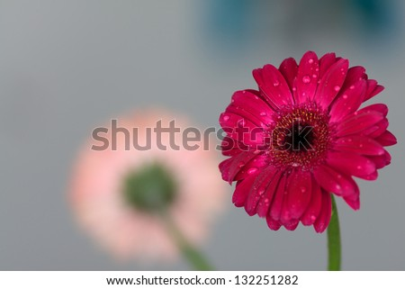 Water drops on red gerbera flower - stock photo