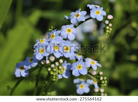 Water Forget-me-not - Myosotis scorpioides - stock photo