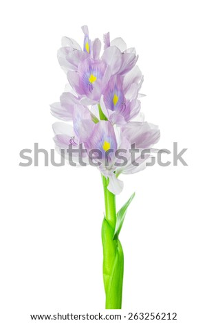 Water hyacinth flower on white background. - stock photo