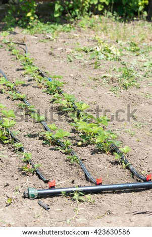 Water irrigation of young strawberries. - stock photo