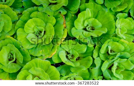 Water lettuce in a small pond in the morning