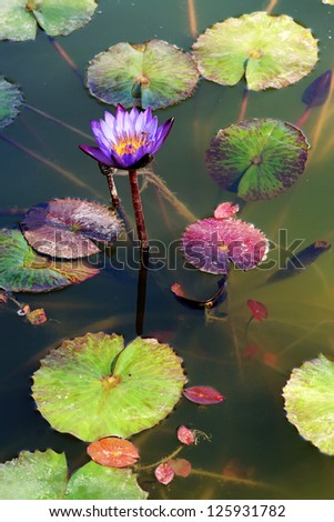 Water Lilies - stock photo