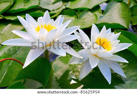 Water lilies among the leaves in the lake - stock photo