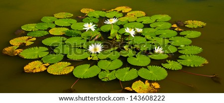 Water Lilies - Bali, Indonesia - stock photo