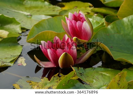 Water lilies in the Japanese pond - Nymphaea - Aquatic vegetation, water plants - stock photo