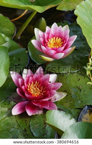 Water lilies in the Japanese pond - Nymphaea - Aquatic vegetation, water plants