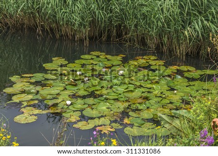 Water lilies on a pond in London Wetlands Center nature reserve - stock photo