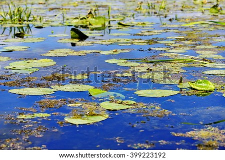Water lilies on the lake sunny day - stock photo