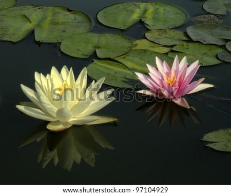 Water lillies - stock photo