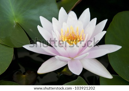 water lilly bloom as tropical background - stock photo