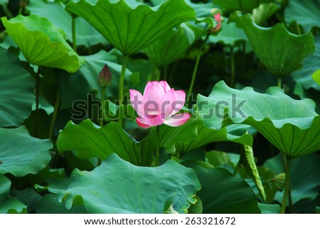 Water Lilly in the middle of them leaves. - stock photo