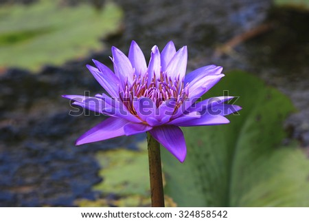 Water Lily and green leaves,beautiful purple flower blooming in the pond in autumn,closeup - stock photo