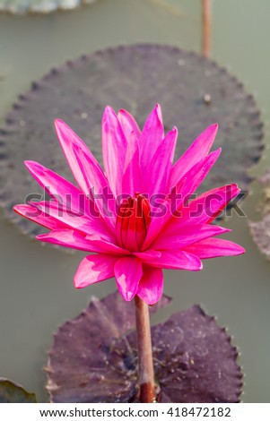 Water Lily Bloom - stock photo