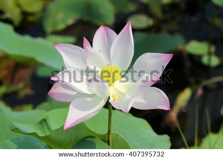 Water lily,blooming lotus flower in the field among the green leaves - stock photo