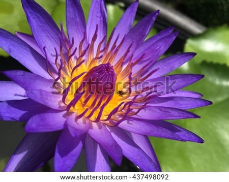 Water lily closeup with a bee - stock photo