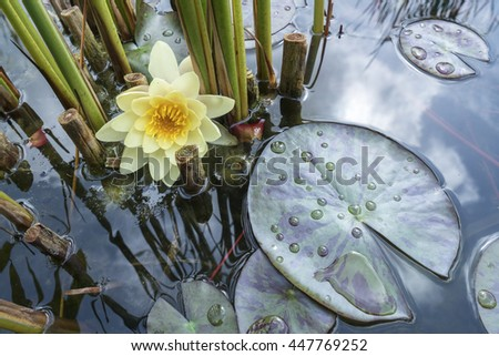 water-lily flower - stock photo