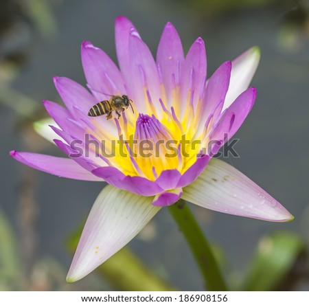 Water lily flower and bee macro with selective focused