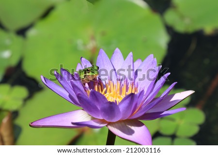 Water Lily flower and frog,a frog on the blooming purple water lily flower    - stock photo