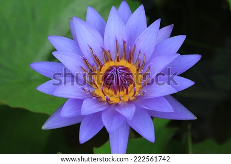 Water Lily flower,closeup of purple Water Lily flower in full bloom - stock photo