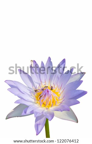 water lily flower (lotus) and white background - stock photo