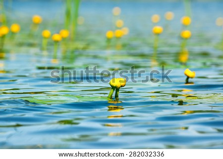 Water lily flower on pond with lotus leaves on pond - stock photo