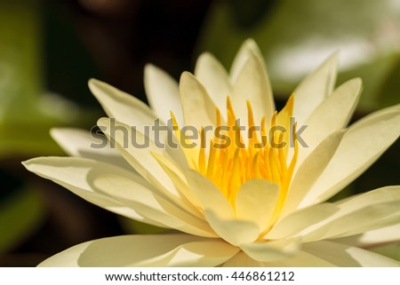 Water lily flower on top of a koi pond in Southern California - stock photo