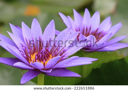 Water Lily flowers,closeup of two purple Water Lily flowers in full bloom  - stock photo