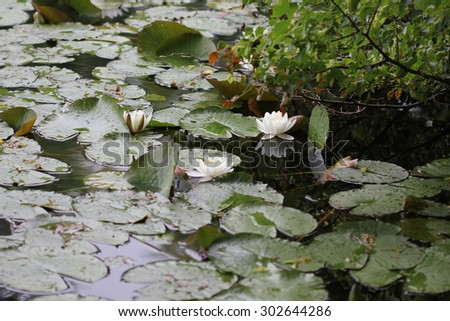 Water lily flowers on pond 7714 - stock photo