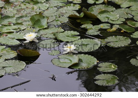 Water lily flowers on pond 7718 - stock photo