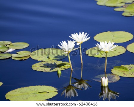 Water Lily in blue water - stock photo