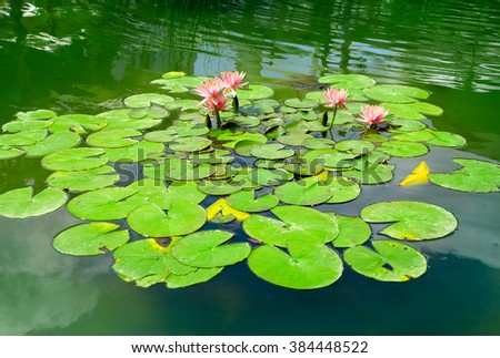 Water lily in small lake - stock photo
