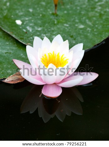 Water-lily in the pond