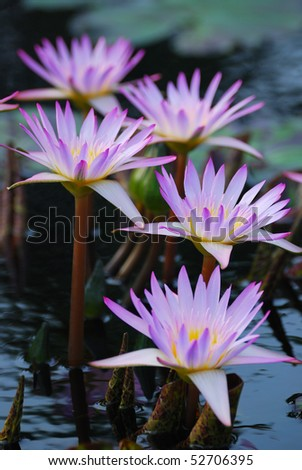 Water Lily in water with lovely pink color. - stock photo