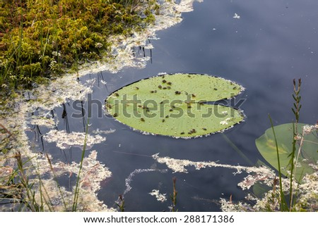 Water lily leaf beetles (Galerucella nymphaeae) eating a floating leaf of yellow water-lily at a wilderness lake. - stock photo