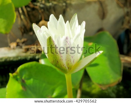 water lily. Lotus flower and leaf lotus. Bee on carpel white Lotus flower plants - stock photo