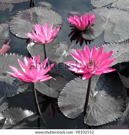 Water lily lotus flower and leaves - stock photo