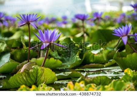 Water lily, lotus in nature. Blooming purple, violent lotus in the water.  - stock photo